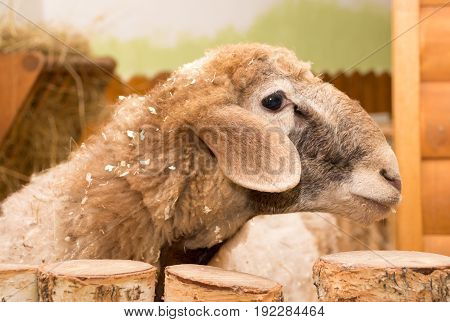 Lamb Beige Sawdust In The Petting Zoo