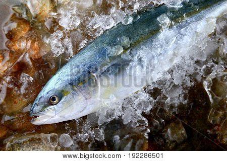 Young Amberjack Fish Or Buri Fish.