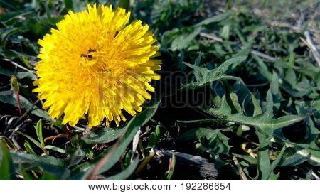 Ant on a yellow dandelion on a sunny day in summer