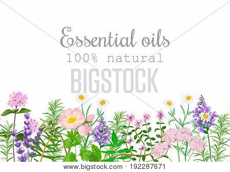 Popular essential oil plants label set. Peppermint lavender sage melissa Rose Geranium Chamomile oregano etc For cosmetics spa health care aromatherapy advertising tag