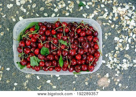 Plastic soup full of red cherries on the asphalt and white petals