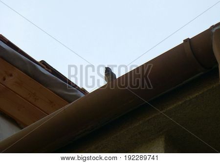 Photo of a House sparrow sitting on the gutter