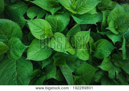 Green leafs of hydrangea with raindrops. View from above. Nature background.
