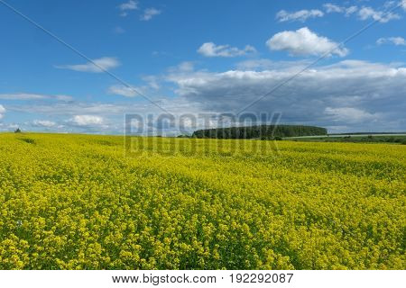 Summer landscape with a yellow blooming rapeseed field in a Sunny day