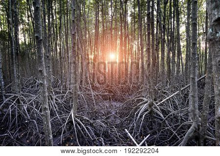 The Mangrove Forest In The Wetland Of Thailand .