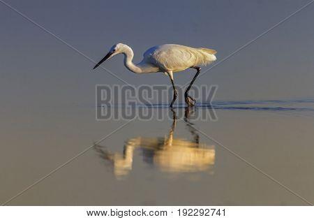 Little egret, egretta garzetta, walking in the water looking for food in Camargue, France