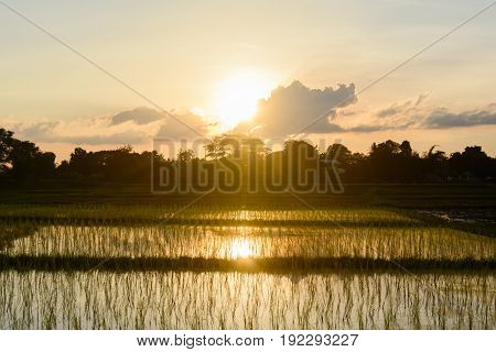 transplant paddy sprouts in the field before sunset.