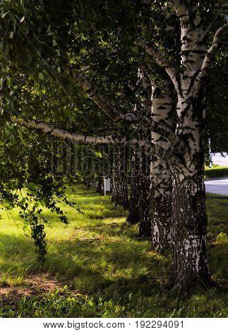Row of several birch trees in a grassy area.