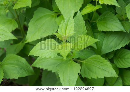 Green herbal Bitter bushsiam weed background .
