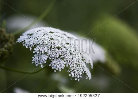 A white, Queen Ann's Lace flower blooms in summertime.