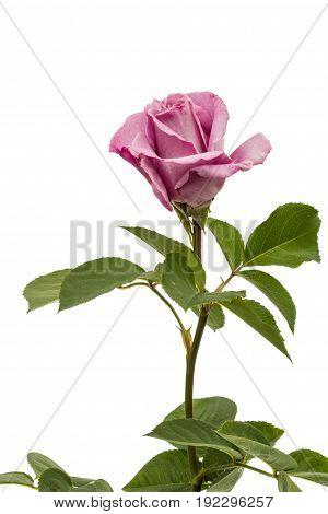 Beautiful Flower Of Rose, Isolated On White Background
