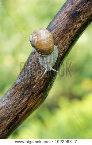 A snail, Helix Pomatia, crawls along a tree branch