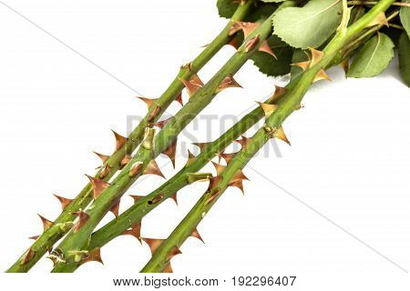 Thorns Of Roses, Isolated On White Background