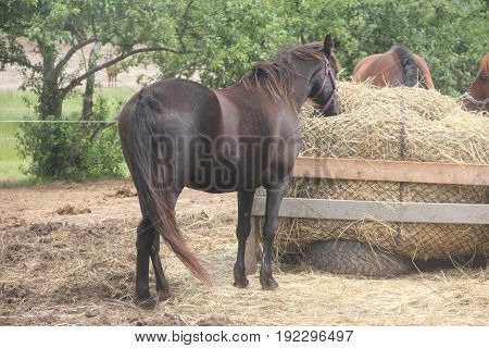 A horse eats hay in an enclosure in Northern Michigan