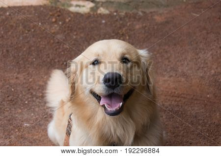 Portrait of Golden Retriever, Golden Retriever smile