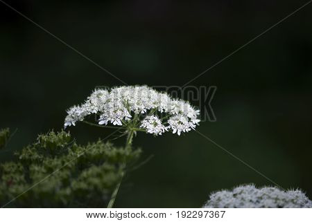A cow parsnip flower blooms in the woods of the Colorado Rocky Mountains.