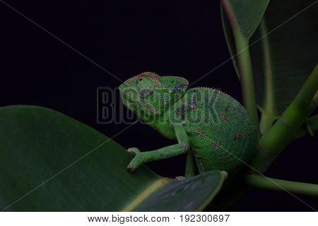 Chamelion On A Succulent Studio Photo