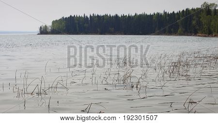 Shoreline at Dore Lake in Saskatchewan with a lot of reeds in the water