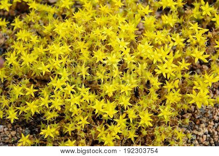 Yellow Low-growing Wildflowers Of Saxifrage (mother Of Thousands) On Granite Stones On A Summer Day.
