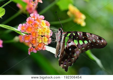 A tailed jay butterfly lands in the gardens for lunch and a visit.