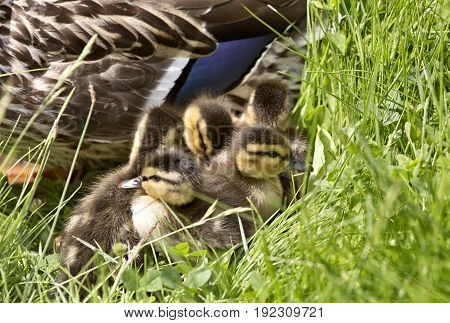 Mother Duck And Babies