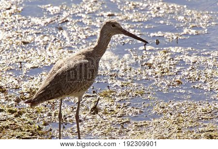Marbled Godwit Canada