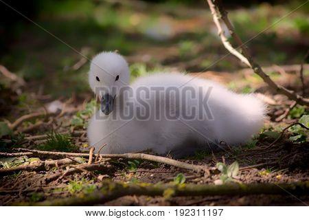 Baby swan. Beautiful cygnet. Fluffy cute black-necked swan (Cygnus melancoryphus) chick. Soft feel pure nature image.