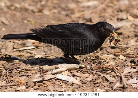 Male blackbird (Turdus merula) with a beak full of grubs and worms. Garden bird foraging for food as meal for young.