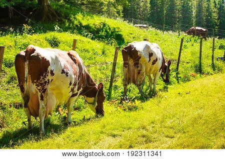 Agricultural breeding animals ecological farming concept. Wild cows graze on green meadow field.