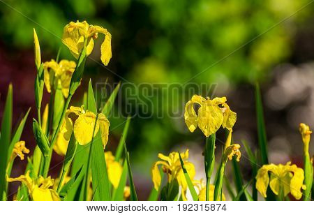 A cluster of yellow iris with morning dew in bright sunlight