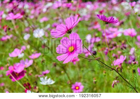 Beautiful cosmos flowers field at Jim Thompson farm at Nakornratchasrima Thailand