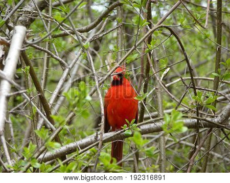 Cardinal bird sitting on the tree branch