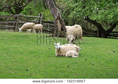 White sheep in the yard of farm
