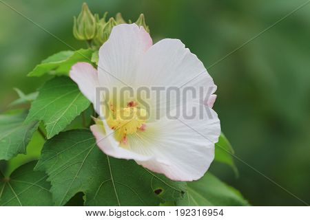 Hibiscus Mutabilis Open At Day Time