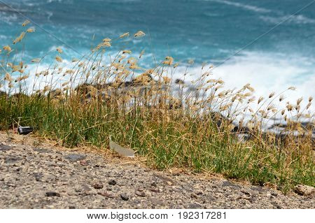 Hawaiian pili grass in front of blue ocean water