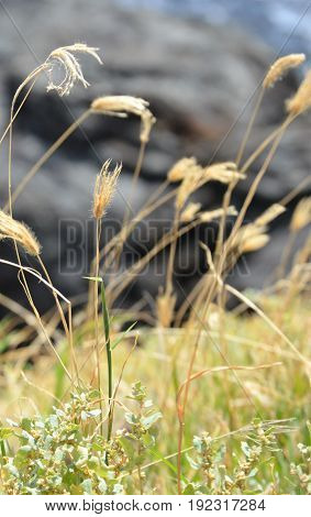Hawaiian pili grass above black lava rocks