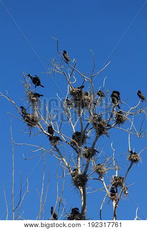 Many cormorant birds nests on the tree