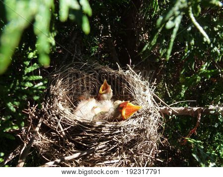 The nest of bird robin with chicks