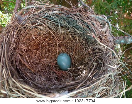 The nest of bird robin with blue egg