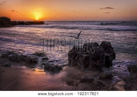 A gull in flight at a Perth Sunset beach  Australia