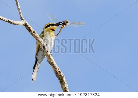 The beautiful Australian Rainbow bee-eater Merops ornatus , with a dragonfly lunch