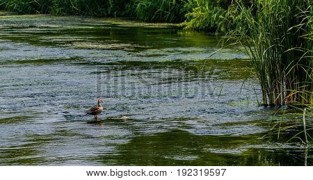 Single lone spot-billed duck standing in shallow water in a river