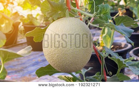 Cantaloupe melons growing ,planted melon fruit in farm