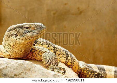 Lizard Lying On A Rock