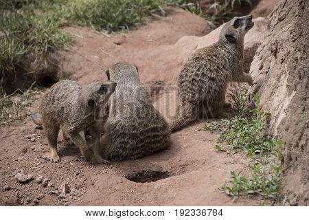 Three meerkats or suricats family on sand