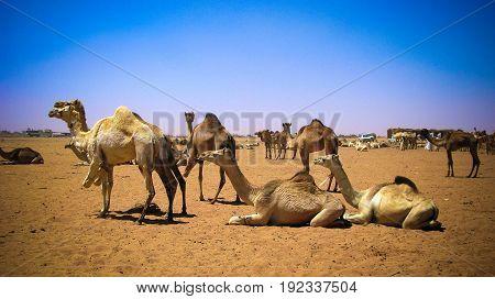 Camels in the camel market in OmdurmanKhartoum Sudan