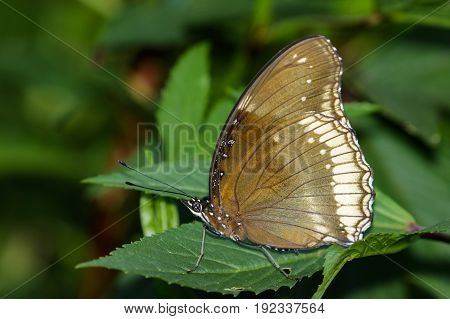 Image of The Great Egg-fly Butterfly on nature background. Insect Animal (Hypolimnas bolina Linnaeus 1758)