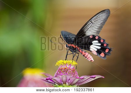 Image of Common Rose Butterfly on nature background. Insect Animal (Pachliopta aristolochiae goniopeltis Rothschild 1908)