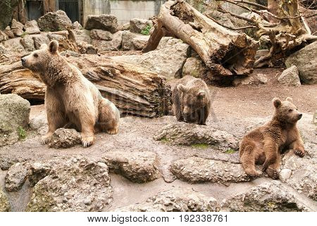 Brown bears at the zoo at Goldau in Switzerland
