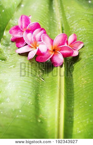 Pink Frangipani On Green Palm Leaf Tropical Beauty